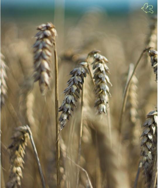 Unique Haircare - soins cheveux bio du Danemark blé certifiés Ecocert