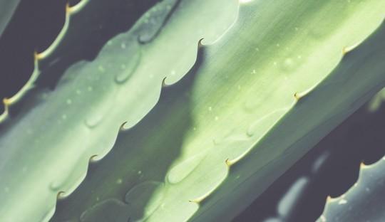Naturkosmetik Aloe Vera Hautpflege Haarpflege